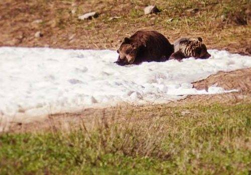 Bears at Lake Louise Ski Resort, Banff National Park.