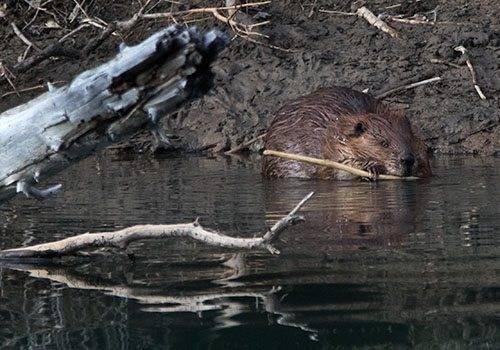 Beaver in Banff National Park.
