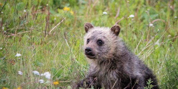 Grizzly Bear and cubs. (Ursus arctos)