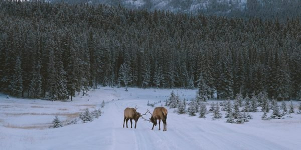 Elk on the road to Two Jack Lake. Photo by Jason Hill @jasoncharleshill|